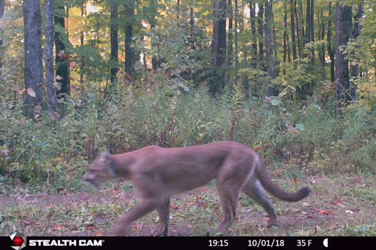 Potential distribution and connectivity for recolonizing cougars in the Great Lakes region, USA