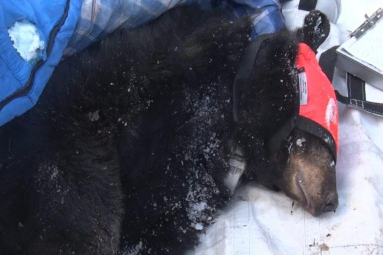Bear den checks with the DNR