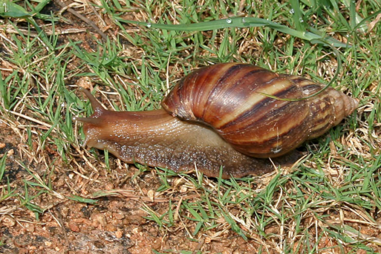 Road as a major driver for potential distribution of the invasive giant African land snail in Nepal