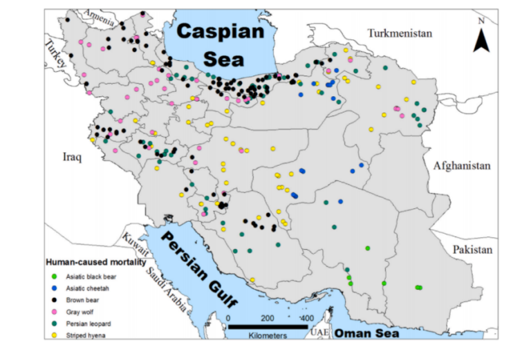 Human-caused mortality of large carnivores in Iran during 1980–2021