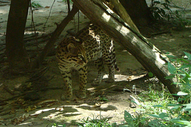 Ocelot (leopardus pardalis) (Carnivora: Felidae) spatial ecology in a fragmented landscape of Colombia