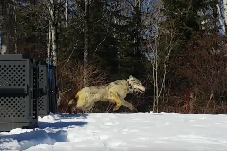 ESF Scientist Helps Locate Wolf That Died on Isle Royale