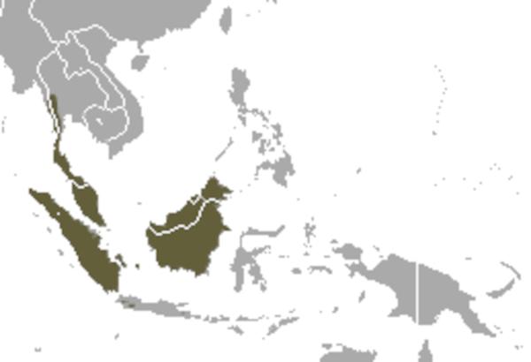 Predicted distribution of banded linsang Prionodon linsang (Mammalia: Carnivora: Prionodontidae) on Borneo
