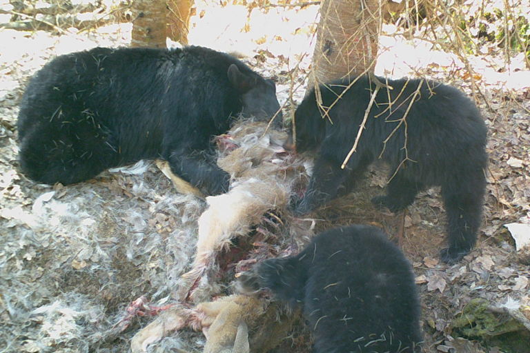 American black bear predation of an adult white-tailed deer