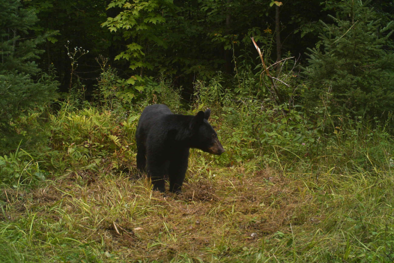 When top predators become prey: black bears alter movement behaviour in response to hunting pressure