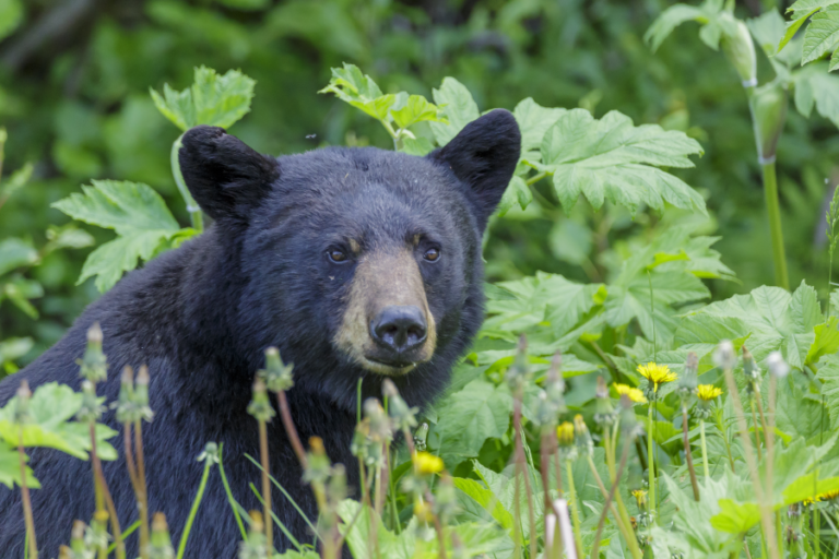 History and status of the American black bear in Mississippi