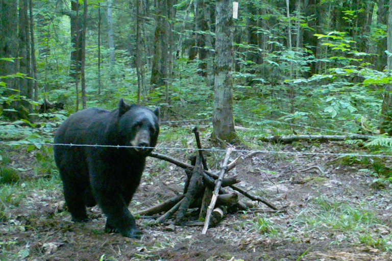 Improving large scale mark–recapture estimates for American black bear populations