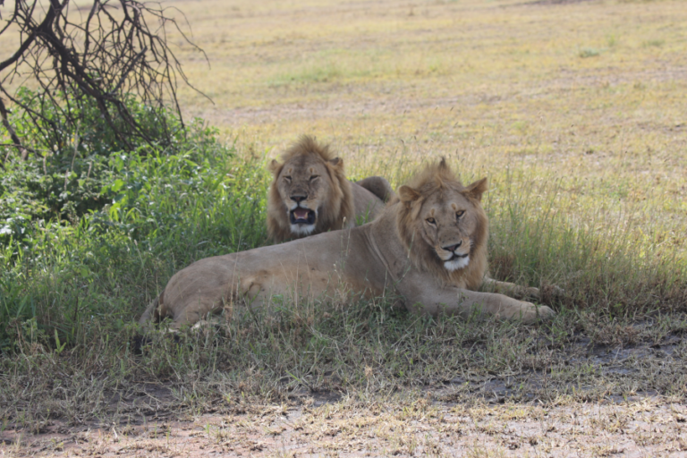 Individual variation in dental characteristics for estimating age of African lions