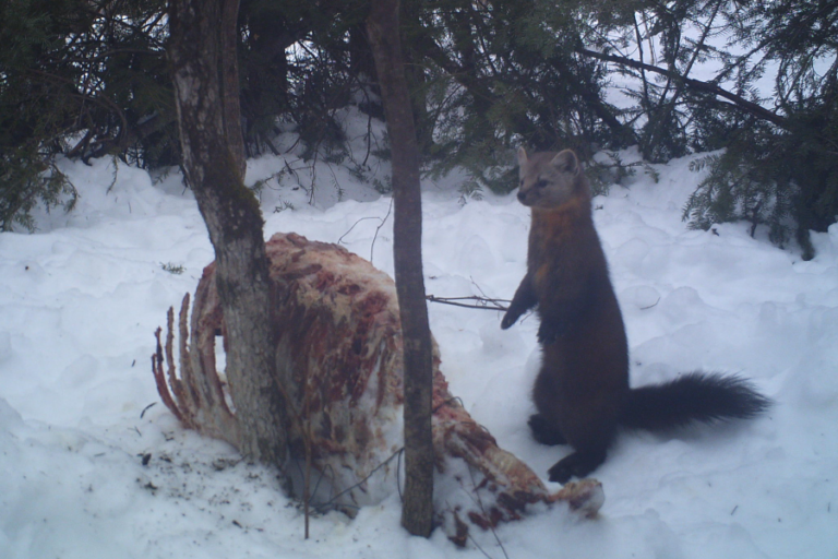 American martens use vigilance and short-term avoidance to navigate a landscape of fear from fishers at artificial scavenging sites