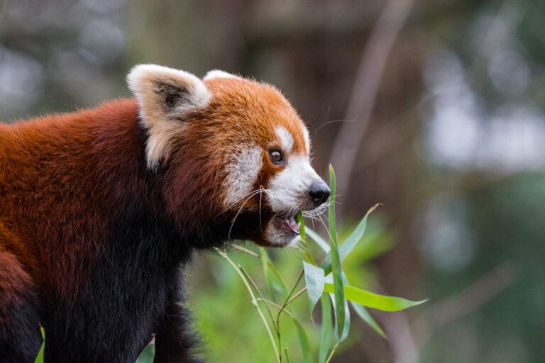 Seasonal food habits of the red panda (Ailurus fulgens) in Rara National Park, Nepal