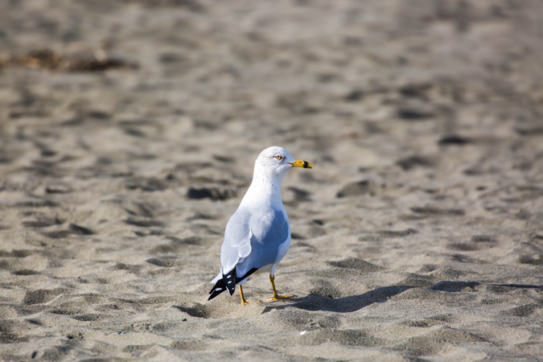 Influence of egg oiling on colony presence of ring-billed gulls
