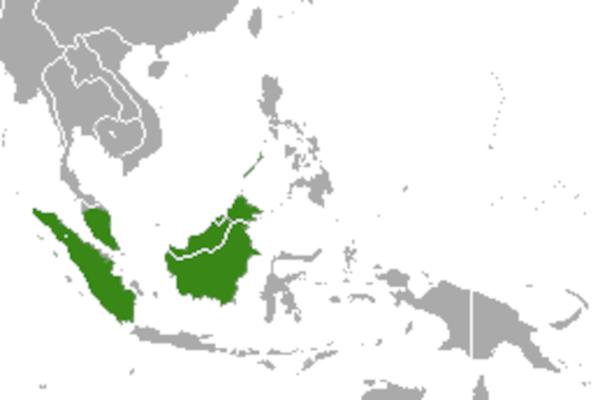 Predicted distribution of short-tailed mongoose Herpestes brachyurus (Mammalia: Carnivora: Herpestidae) on Borneo
