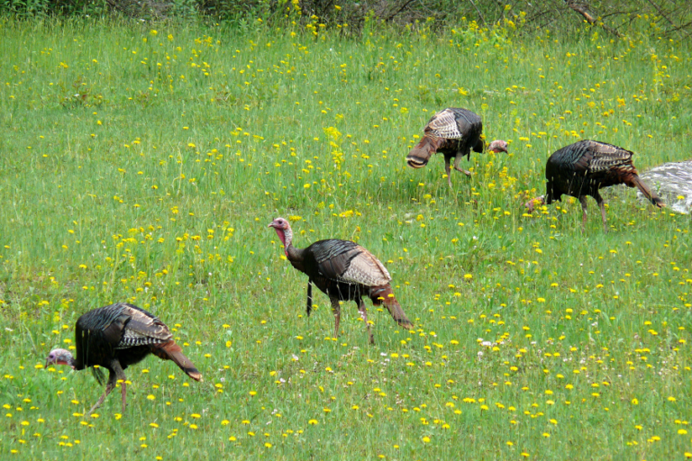 Effects of resource dispersion and site familiarity on movements of translocated wild turkeys on fragmented landscapes