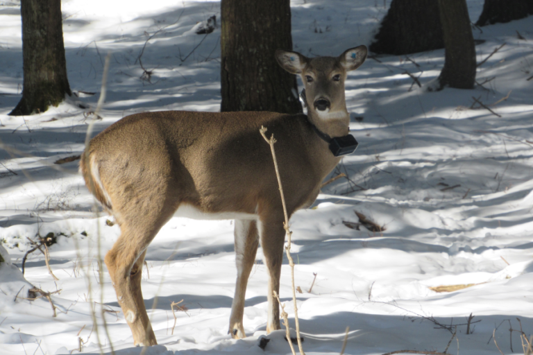 Body condition and dosage effects on ketamine–xylazine immobilization of female white‐tailed deer