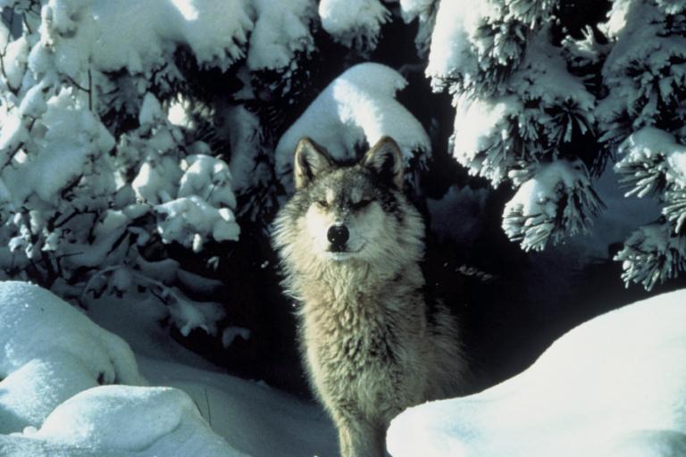 Linking wolf diet to changes in marine and terrestrial prey abundance