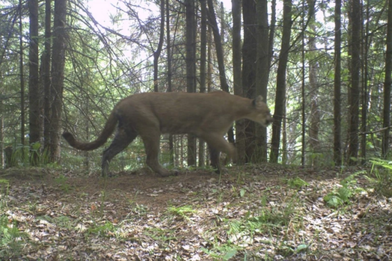 Michigan DNR cougar team shares the status of cougars in the Upper Peninsula