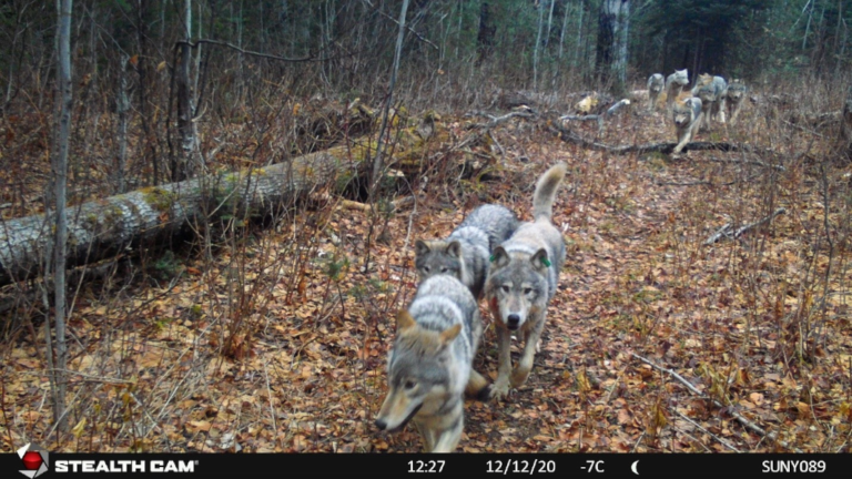 GPS Collars Inform Isle Royale Wolf Restoration and Monitoring Efforts