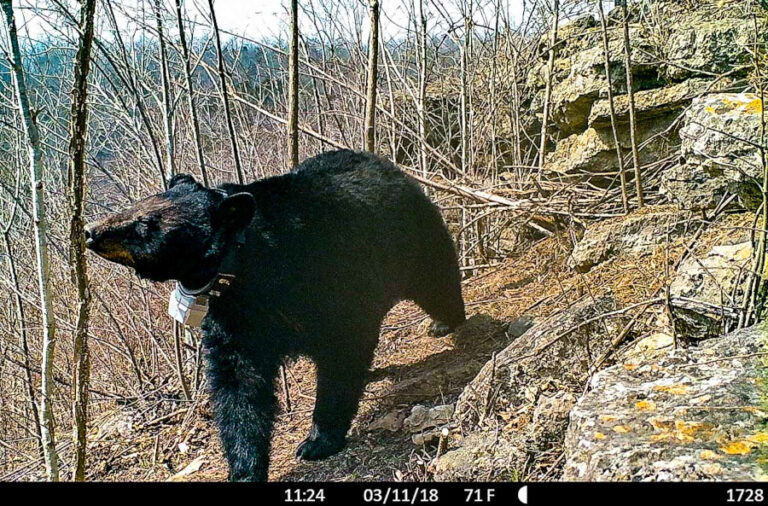 Missouri Black Bears