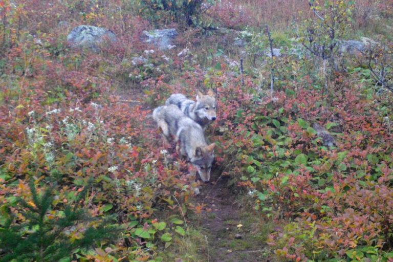Wolf Pups Born on Isle Royale