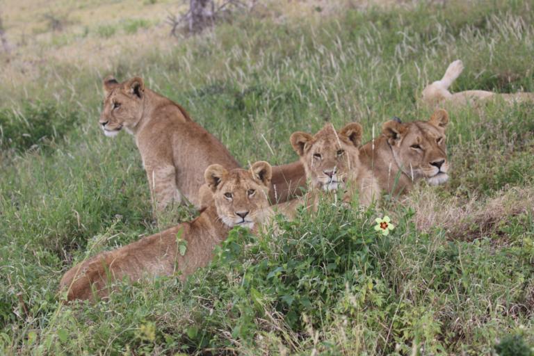 Estimating lion abundance using N-mixture models for social species