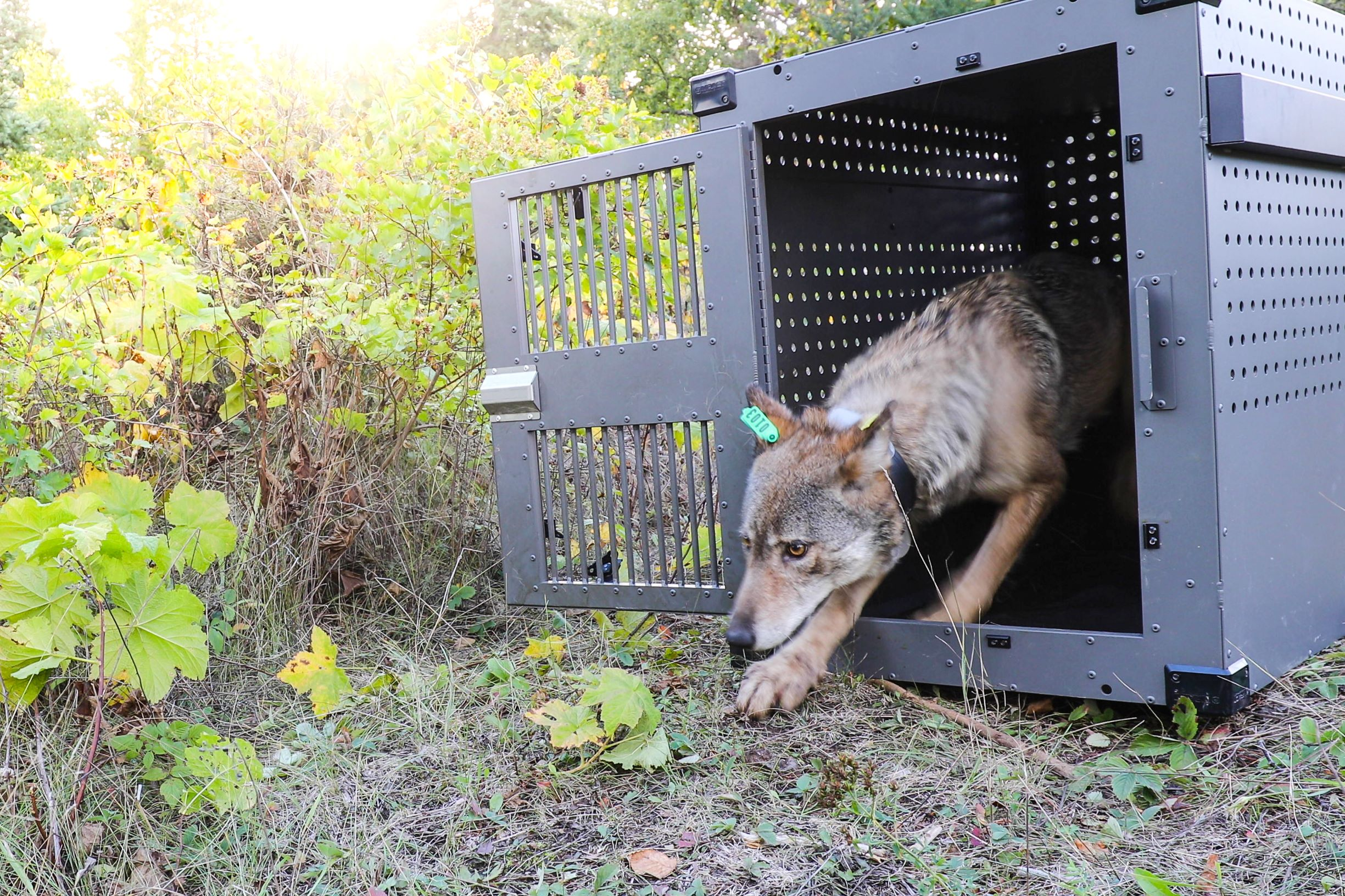 A female wolf emerges from her crate on Isle Royale National Park. Photo credit NPS / Jacob W. Frank
