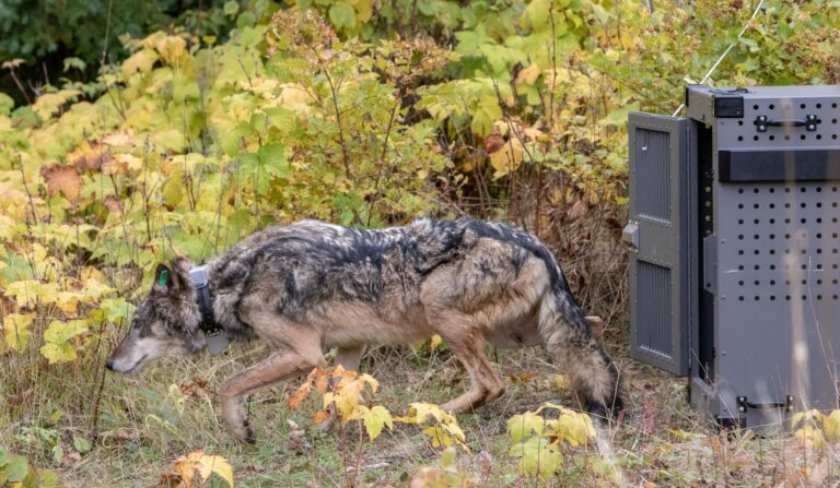 A first genetic assessment of the newly introduced Isle Royale gray wolves (Canis lupus)