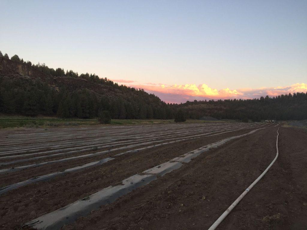 Hemp Field preperation irrigation sunset