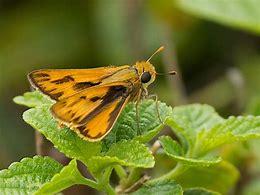 Skipper Butterfly Orange