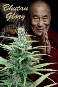 Bhutan Glory hemp plant with title and Dalai Lama image
