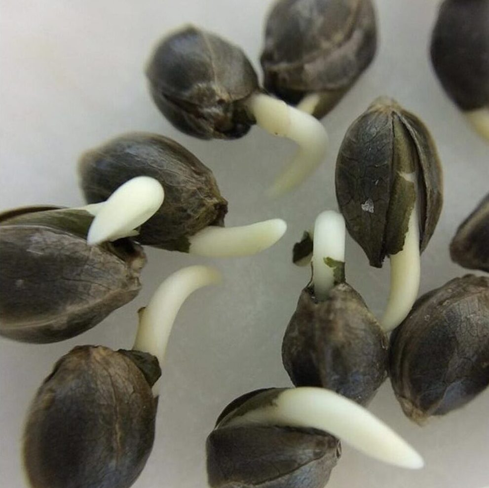 Hemp seeds sprouting their tap roots