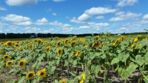 Sunflower Farms in Northern Michigan