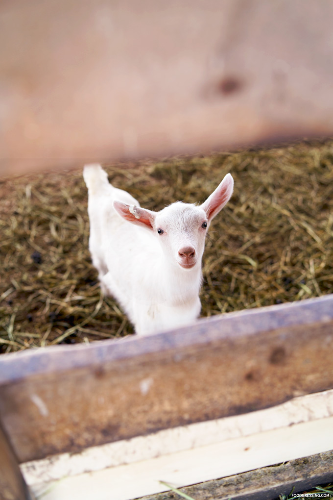 Romantic Getaway Ideas in the Fraser Valley: Goats Milk Gelato at Milner Valley Cheese (Langley, BC)