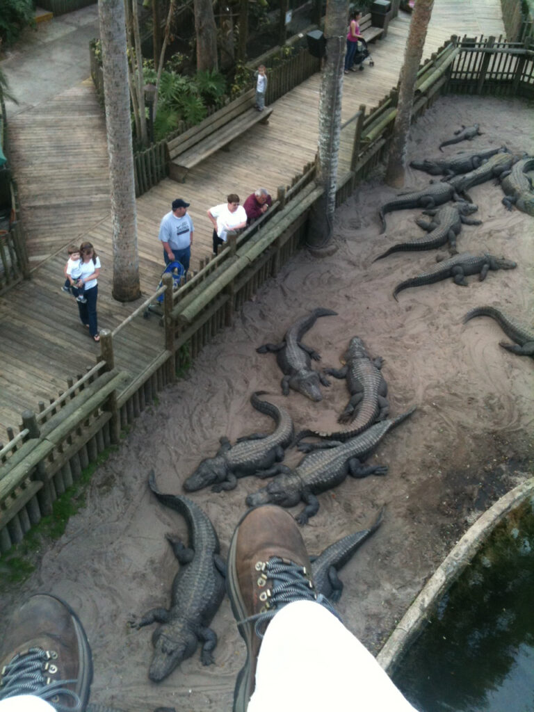 Things to do in St. Augustine Florida in 2020: zipline over a swarm of alligators at the St Augustine Alligator Farm
