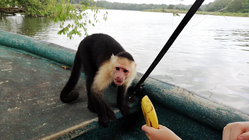 White Faced Capuchin of Monkey Island in Panama