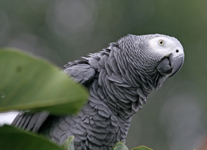 African Grey Parrot Biting Behaviors