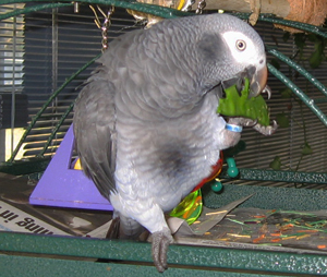 African Grey Parrot Diet Assorted Fresh Vegetables List