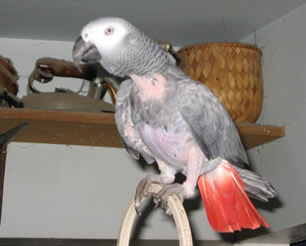 African Grey Feather Plucking aka Feather Picking is more common in Congos (CAGs) than Timnehs.