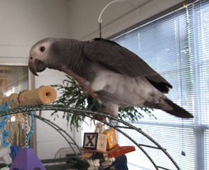 African Grey Parrot Healthy Signs