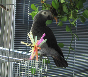 Make Your Own African Grey Parrot Toys.