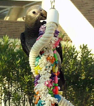 African Grey Parrots love their toys!