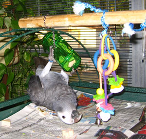 Parrots love to hang on their toys and play.