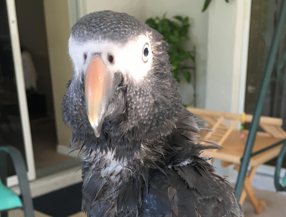 Bathing and Showering Your Parrot