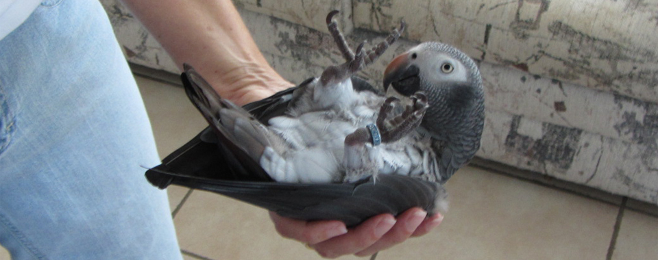 African Grey Parrot Behavior Information