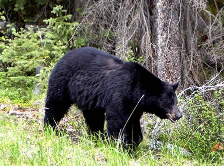 balck_bear_1