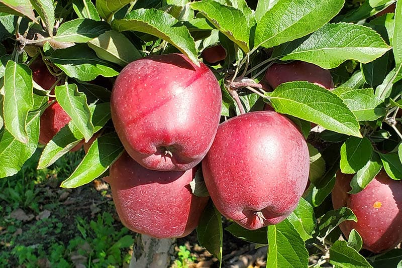 BrixStone Farms Apples