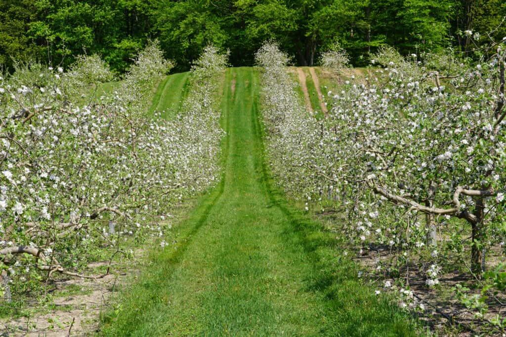 Miles of Cortland Apples Blooming