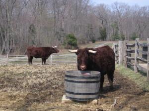 farm animal cow