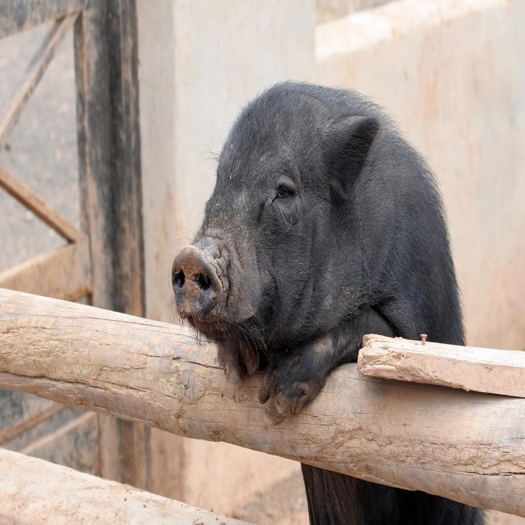 farm animal pig