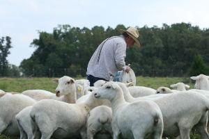 livestock handleing