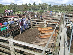 """Improve Cattle Handling with """"Follow the Leader"""" Instincts"""